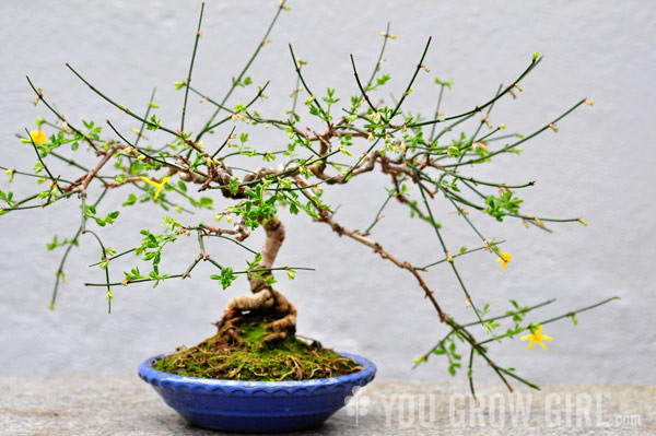 winter jasmine bonsai you grow girl. Black Bedroom Furniture Sets. Home Design Ideas
