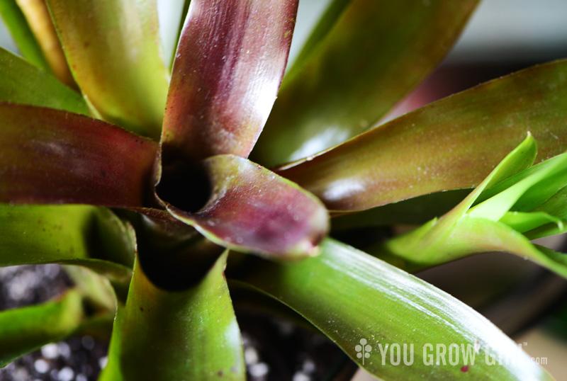 Neoregalia bromeliad